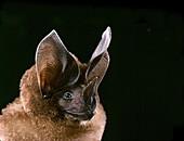 Schultz's round-eared Bat (Lophostoma schulzi)