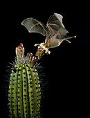 Lesser Long-nosed Bat at Organ Pipe Cactus