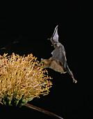 Lesser long-nosed bat at Agave