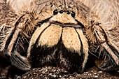 David Bowie Spider, (Heteropoda davidbowie)