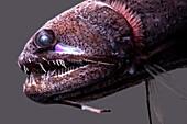 Threadfin Dragonfish, Echiostoma barbatum