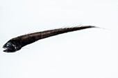 Cusk Eel (Bassozetus compressus)