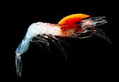 Mesopelagic shrimp (Sergestes henseni)