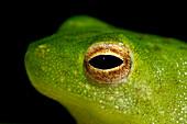 Lesser Hatchet-faced Treefrog (Sphaenorhynchus dorisae)