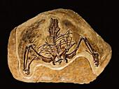 Gansus yumenensis