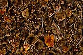 Colony of Southeastern Myotis Bats