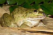 Chinese Edible Frog (Hoplobatrachus rugulosus)