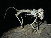 Guinea Baboon Skeleton