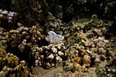 Hawaiian Leaf Fish (Taenianotus triacanthus)