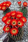 Magnificent Scarlet Cereus Cactus