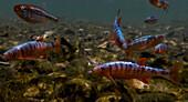 Male Scarlet Shiners (Lythrurus fasciolaris)