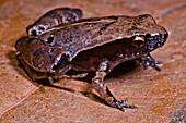 Loreto Leaf Frog (Noblella myrmecoides)