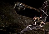 Cave Myotis Bat (Myotis velifer)