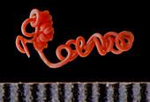 Parasitic Roundworm