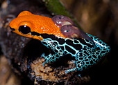 Red-backed Poison Frog (Ranitomeya reticulata)