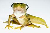 Vaillanti's Monkey Frog (Phyllomedusa vaillanti)