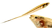 Knifefish (Brachyhypopomous sp.)