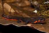 Firebelly Newt (Cynops pyrrhogaster)