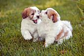 Coton de Tul? ar puppies