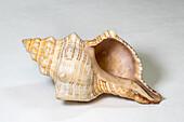 Florida Horse Conch (Triplofusus papillosus)