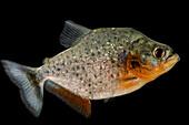 Redbelly Piranha (Pygocentrus nattereri)
