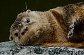 Neotropical Otter (Lontra longicaudis)