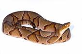 Copperhead, Agkistrodon contortrix