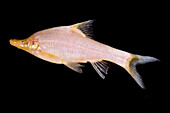 Small-eyed Golden Line Barbel (Sinocyclecheilus microphthalmus)