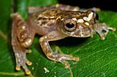 Ross Allen's Clown Treefrog (Dendropsophus rossalleni)