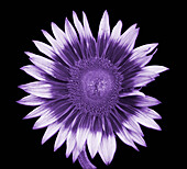 Sunflower in UV radiation