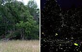 Fireflies Habitat in Day Night