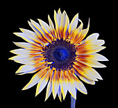 Sunflower in Simulated Insect Vision