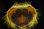 Inside View of Jumping Spider Carapace