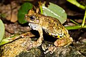Marbled Treefrog (Dendropsophus marmoratus)