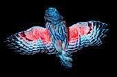 Barred Owl in UV Radiation