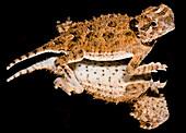 Juvenile Texas Horned Lizard (Phrynosoma cornutum)