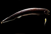 Dragonfish (Eustomias schmidti)