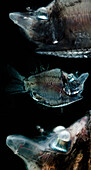 Mirrorbelly (Monacoa grimaldii)