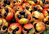 Reife Ackee-Früchte (Blighia sapida) aus Jamaika