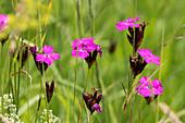 Karthäusernelken in der Blumenwiese