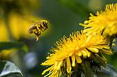 Honigbiene im Anflug auf Löwenzahn