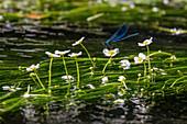 Gebänderte Prachtlibelle an Blüte vom Flutenden Hahnenfuß