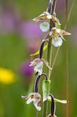 Blütenstand der Sumpfwurz auch Sumpf-Stendelwurz