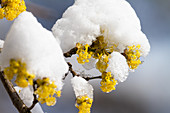 Kornelkirsche blüht im Schnee