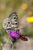 Apollofalter und Widderchen an Wiesen-Flockenblume