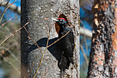 Schwarzspecht-Männchen an Baumhöhle