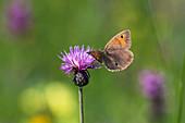 Großes Ochsenauge an Blüte von Wiesenflockenblume