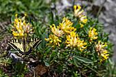 Schwalbenschwanz auf Alpen-Wundklee