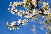Blühende Schlehe im Frühling