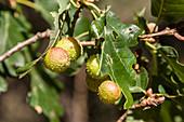 Gallen der Eichengallwespe an Eichenblättern